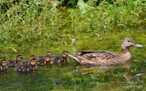 puces Lalinde,bébés canards,au moulin souci 078.JPG