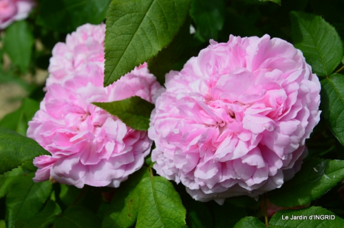 fête de la fraise Vergt,roses jardin 161.JPG