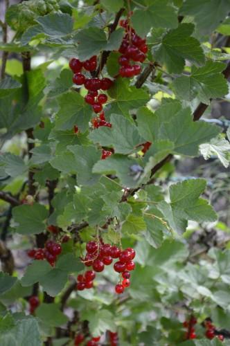 jardin,potager,roses,sauges 098.JPG