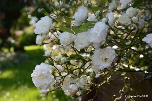 roses,poule d'eau,bébés cygnes, 174.JPG