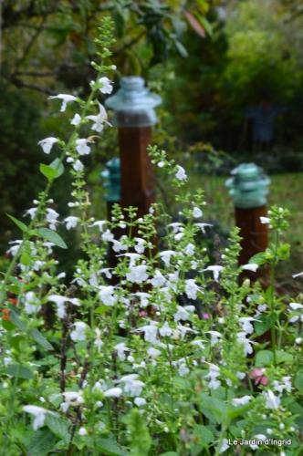 sauges,lantanas,Julie,Bernadette,canal,jardin 227.JPG