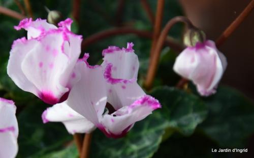 les tons roses,choux frisés,automne 090.JPG