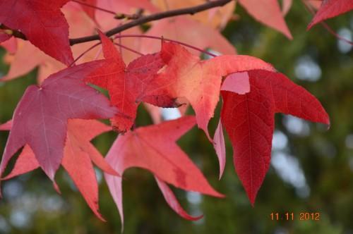 petit érable,le canal et lejardin àl'automne 120.JPG