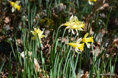 bouquet,pt jonquilles,bord Dordogne 076.JPG