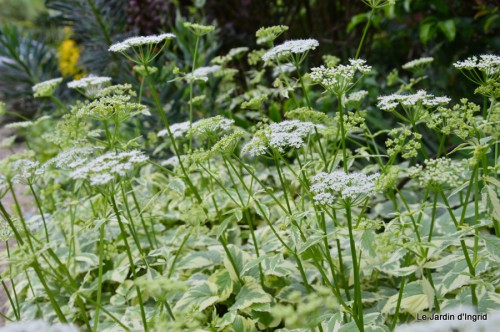 canal,fleurs blanches,marguerites,LE FLEIX,osier 085.JPG