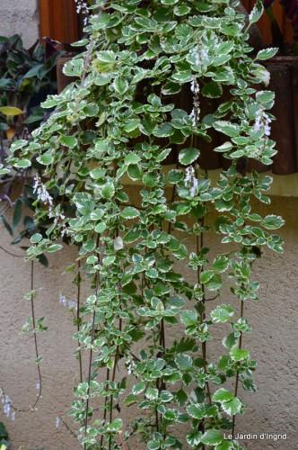 ménage automne,plectanthrus,feuillages 138.JPG