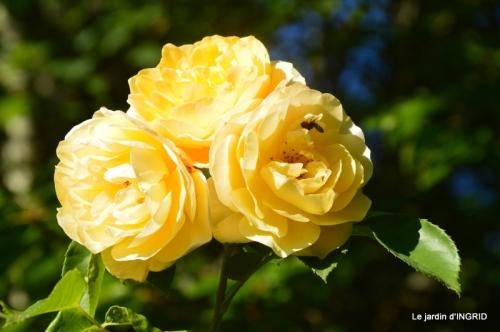 bébés cygnes,visites,roses 076.JPG