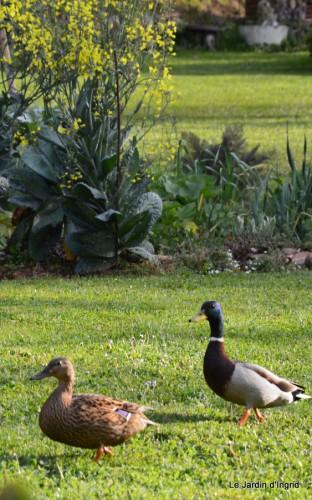 paquerettes,arums,laurier palme,jardin 067.JPG