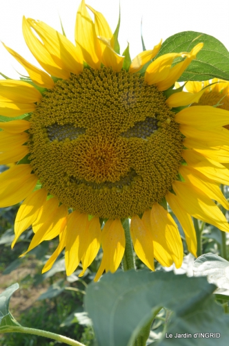 tournesols,pt jardin,nénuphard,libellules,lavande bouquet,carava 027.JPG