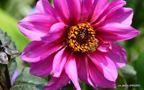 robe Julie,jardin,le flambé,lantanas,dahlias 049.JPG