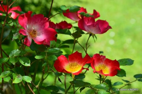 Cadouin,ancolies,roses,pollen,osier,photos Fabien,coquelicots 133.JPG