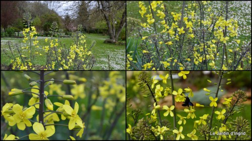2014-03-28 jardin ,cane sauvage,paquerettes,tulipes6.jpg