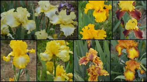 2013-05-12 serre,iris,ancolie,iriseraie Papon,moulin2.jpg