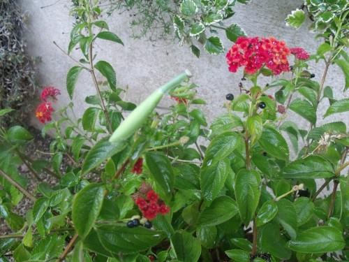 papillon.nuit,7 pigeonniers,Queyssac,jardin 084.JPG