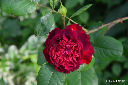 trémolat,oiseaux,jardin,cygnes,roses, 029.jpg