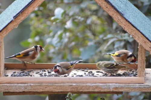 les oiseaux sur terrasse 032.JPG