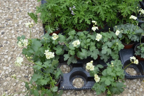 CADOUIN,cascade,iris,roses,fl.sauvages 070.JPG