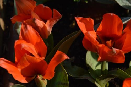 Beaumont,tulipes,primevères et autres,chez Bernadette 045.JPG