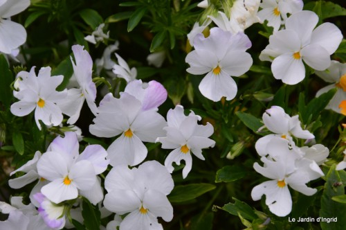 canal,fleurs blanches,marguerites,LE FLEIX,osier 069.JPG