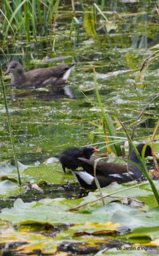 puces Lalinde,bébés canards,au moulin souci 042.JPG