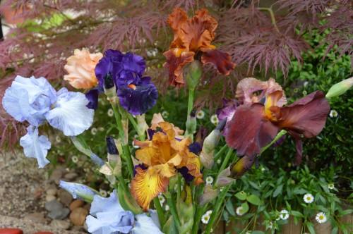 serre,iris,ancolie,iriseraie Papon,moulin 196.JPG