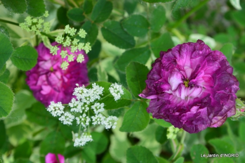 Cadouin,ancolies,roses,pollen,osier,photos Fabien,coquelicots 165.JPG