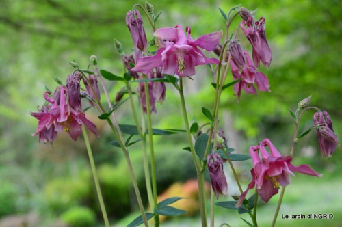 jardin avril,tulipes pivoine,iris d'eau,chenilles 071.JPG