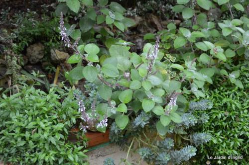 ménage automne,plectanthrus,feuillages 075.JPG