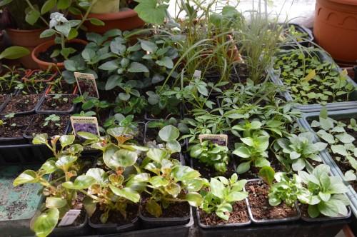 iris,arbre de judée,pivoine,Arya,viburnum,pts plants,cytise,akéb 085.JPG