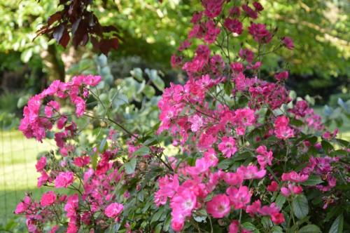 potager ,roses,jardin 016.JPG