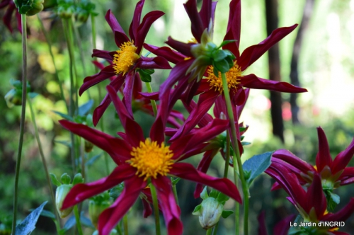 dahlias,massifs refaits,Lalinde,jardin 096.JPG