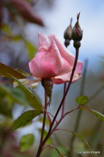 jardin ,cane sauvage,paquerettes,tulipes 139.JPG