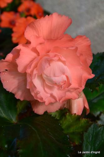 jardin,le cypres chauve,puces Mouleydier,vieilles photos 090.JPG
