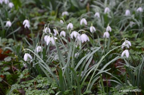 bulbes,perce neige,narcisse,pluie,hélébore,chapelle 105.jpg
