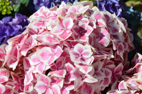 Cadouin,ancolies,roses,pollen,osier,photos Fabien,coquelicots 005.JPG