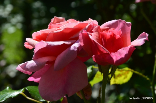 cygnes,Sophie,jardin en mai 067.JPG