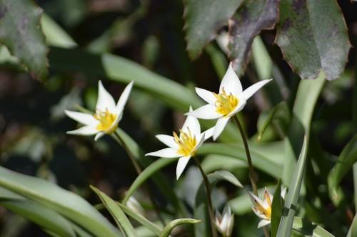 troc graines Neufont,magnolia stelleta 034.JPG