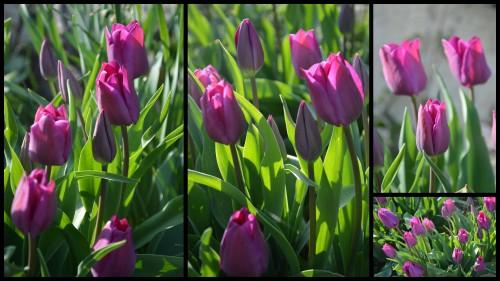 2013-04-05 Beaumont,tulipes,primevères et autres,chez Bernadette4.jpg