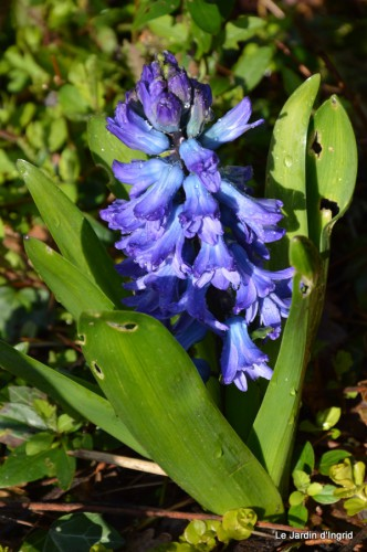bouquet mamy,jacinthes,semis,jardin 042.JPG