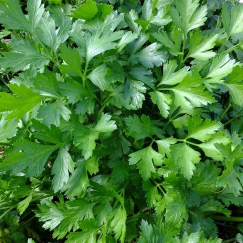 Persil-plat-Petroselinum-crispum-neapolitanum.jpg