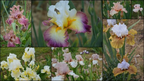 2013-05-12 serre,iris,ancolie,iriseraie Papon,moulin4.jpg