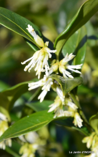 hélébores,bruyères,arbustes fleuries,mésanges 072.JPG