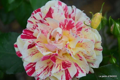 Colombier,Cadouin,jardin,roses,pluie 053.JPG