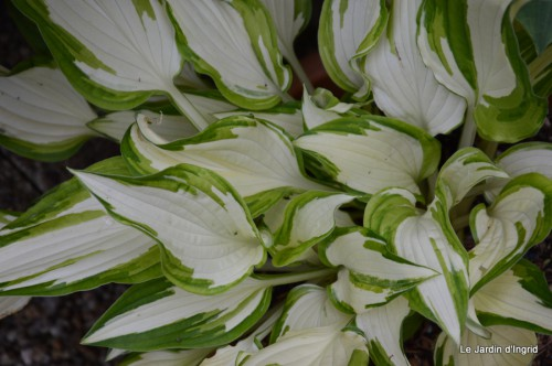canal,fleurs blanches,marguerites,LE FLEIX,osier 092.JPG