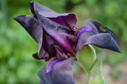 serre,iris,ancolie,iriseraie Papon,moulin 198.JPG