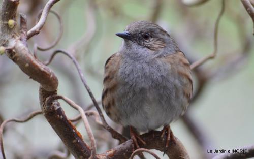 oiseaux première neige 059.JPG