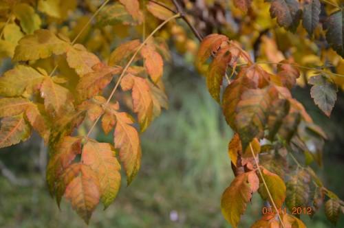 Ciron,feuilles d'automne,safran,taille érable 070.JPG