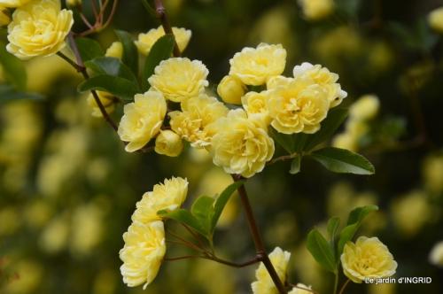 cygnes,cartes,scènes de jardin,;rosier de Banks 019.JPG