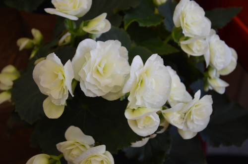 rosiers,fleurs blanches,pollen,magasin 102.JPG