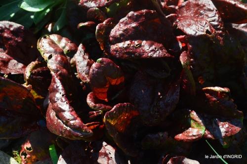 Rouge,narcisse,jardin 031.JPG